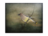 Portrait of a Cedar Waxwing Giclee Print by Jai Johnson