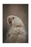 Lots to Say Cockatoo Giclee Print by Jai Johnson