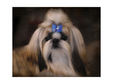Shih Tzu with Blue Bow Giclee Print by Jai Johnson