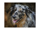 Australian Shepherd Giclee Print by Jai Johnson