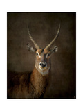 Waterbuck Antelope Giclee Print by Jai Johnson
