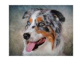Blue Merle Australian Shepherd Portrait Giclee Print by Jai Johnson