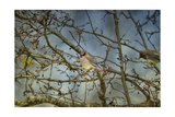 A Taste of Sunshine Cedar Wax Wings Giclee Print by Jai Johnson