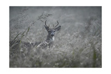 Foggy Morning Buck Giclee Print by Jai Johnson