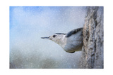 Nuthatch in the Snow Reproduction procédé giclée par Jai Johnson