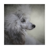Longing Silver Standard Poodle Giclee Print by Jai Johnson