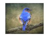 Bluebird Portrait Reproduction procédé giclée par Jai Johnson