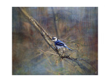 Color My World Blue Jay Giclee Print by Jai Johnson