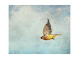 Winter Flight Cedar Waxwing Giclee Print by Jai Johnson