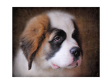 Saint Bernard Puppy Portrait Giclee Print by Jai Johnson