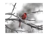 Male Cardinal Braving the Cold Reproduction procédé giclée par Jai Johnson