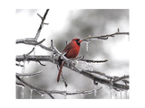 Male Cardinal Braving the Cold Giclee-trykk av Jai Johnson