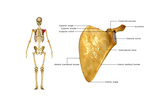 Scapula Posters by  7activestudio