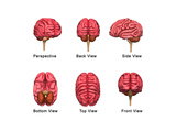 Human Brain Collection Prints by  7activestudio