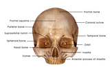 Human Skull Labelled Art by  7activestudio