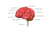Human Brain Labelled Posters by  7activestudio
