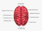 Human Brain Labelled Prints by  7activestudio