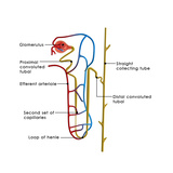 Excretory System Premium Giclee Print by  7activestudio