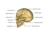 Human Skull Prints by  7activestudio