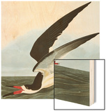 Black Skimmer or Shearwater. Black Skimmer (Rynchops Niger), from 'The Birds of America' Wood Print by John James Audubon