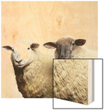 Sheep Standing Side by Side Wood Print by Adrian Burke