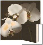 White Phalaenopsis Orchids Wood Print by Michael Freeman