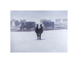 Cows in the Snow Giclee Print by Todd Telander