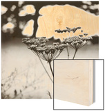 Queen Anne's Lace Flower Wood Print by Ariel Ruiz I Altaba