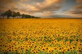 Sonnenblumen Fotodruck von Piotr Krol