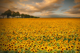 Sunflowers Photographic Print by Piotr Krol