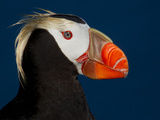 Tufted Puffin Photographic Print by Alfred Forns