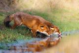 Thirsty Photographic Print by Pim Leijen