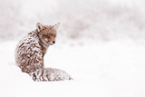 Red Fox in a White World Photographic Print by Roeselien Raimond