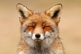 Zen Fox Photographic Print by Roeselien Raimond