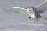 The White Hunter Reprodukcja zdjęcia autor Mircea Costina