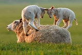 Sheep Leaping Lambs Photographic Print by Roeselien Raimond