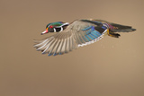 Wood Duck Photographic Print by Mircea Costina