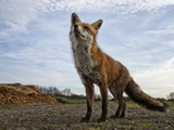 The Curious Fox Photographic Print by Gert Van