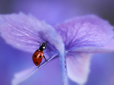 Ladybird on Purple Hydrangea Photographic Print by Ellen Van