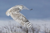 Snowy Owl Photographic Print by Mircea Costina