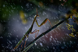 Mantis in the Rain Photographic Print by Antonio Grambone