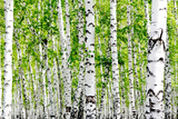 White Birch Trees in the Forest in Summer Photographic Print by  kzww