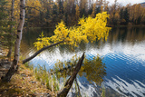 Autumn, Birch with Yellow Leaves over a Lake Photographic Print by  Vensk