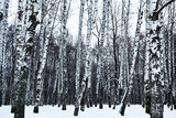 View of Snowy Birch Forest in Winter Photographic Print by  vvoe
