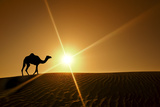 Silhouette of a Camel Walking Alone in the Dubai Desert Fotografisk tryk af  naufalmq