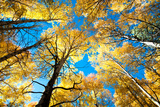 Aspen Trees Photographic Print by  tharathepptl
