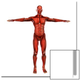 Human Muscular System Print by Stocktrek Images