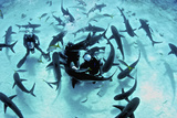 Feeding Frenzy of Caribbean Reef Sharks Photographic Print by Stocktrek Images