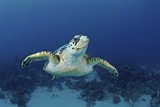 Hawksbill Sea Turtle, Nassau, the Bahamas Photographic Print by Stocktrek Images