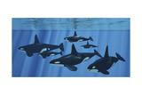 A Pod of Killer Whales Swimming Together Prints by Stocktrek Images